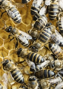 Macro of working bees on honeycomb